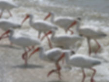 Ibis in Sanibel Island Surf
