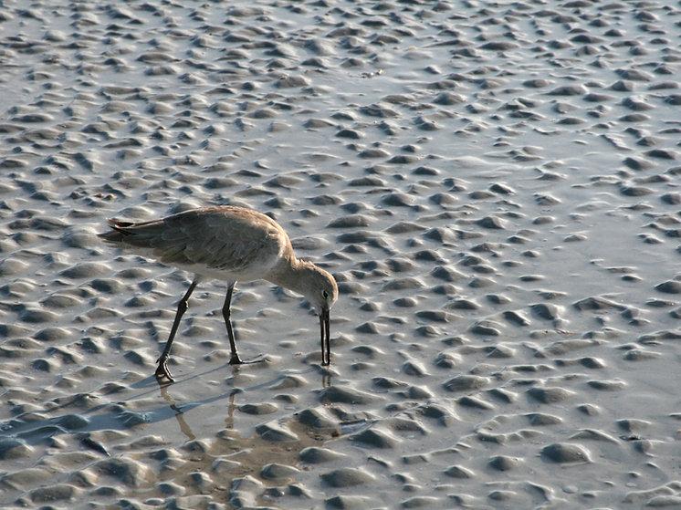 Willet Feeding on Sanibel Shore