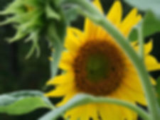 Sunflower Framed by Branches