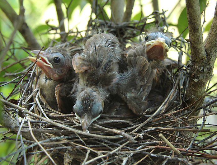 Baby Cardinals are Crowded Day Ten