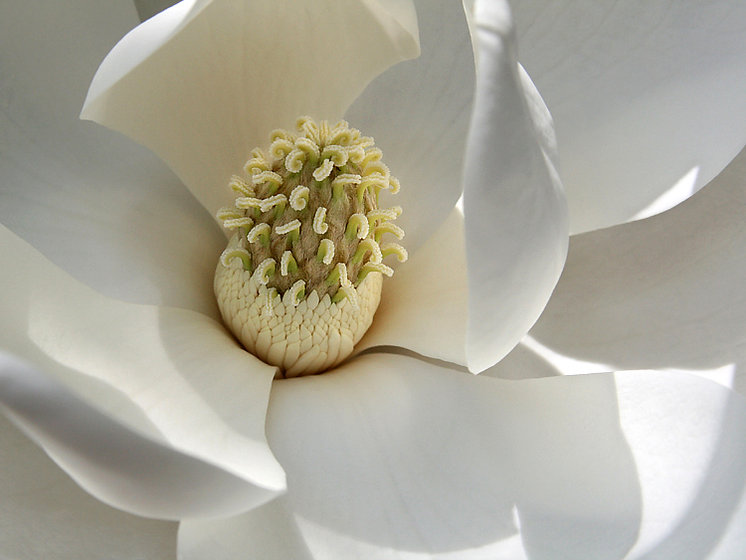 Magnolia Bloom Closeup