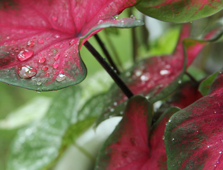 Raindrops on Caladium