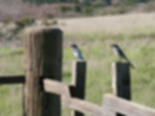 California Scrub Jays