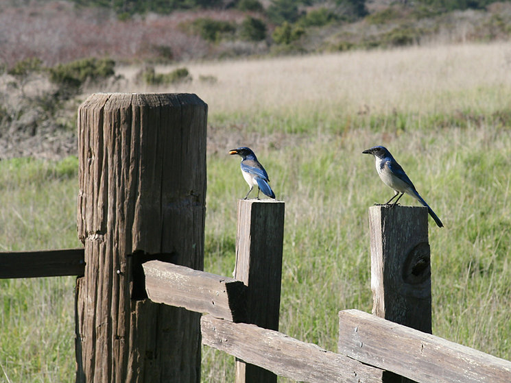 California Scrub Jays