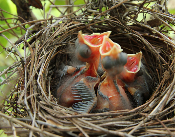 Baby Cardinals Day Four