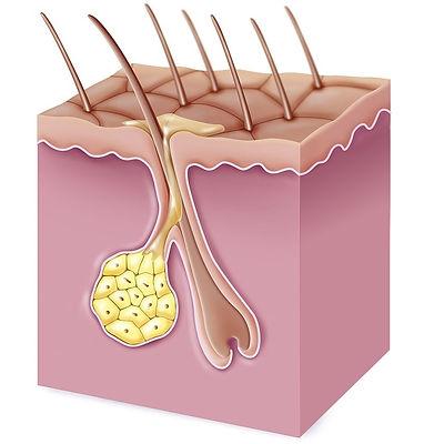 Sebaceous Gland.jpg