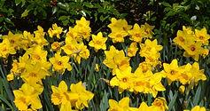 Lunch & Learn: Daffodils