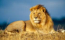 Lion tranquille