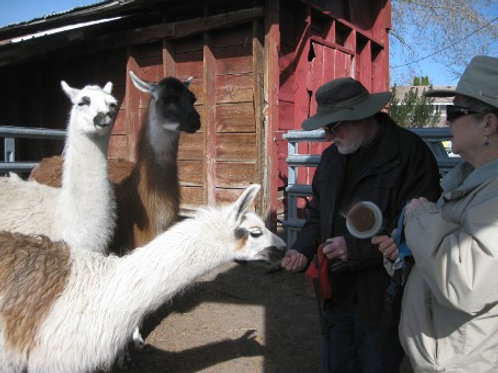 LLAMA HANDS ON RANCHING | Sunday 4.8.18 | 9 AM - 12 PM