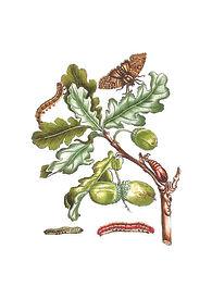 Merian Eiche samt Frucht