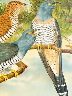 Naumann Vögel Mitteleuropas Lithografie