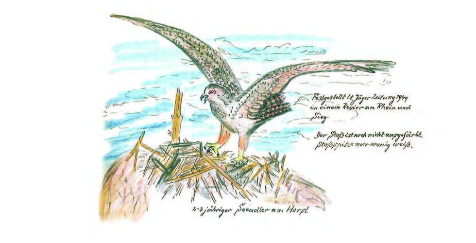 Wenzel Vogelalbum Seeadler