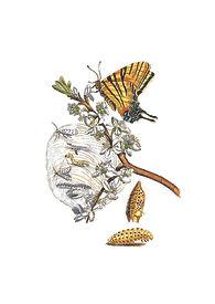 Merian Schlehenblüte