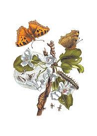 Merian Birnenblüte