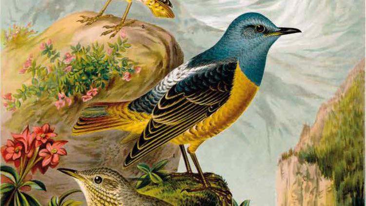 Naumann Die Vögel Mitteleuropas