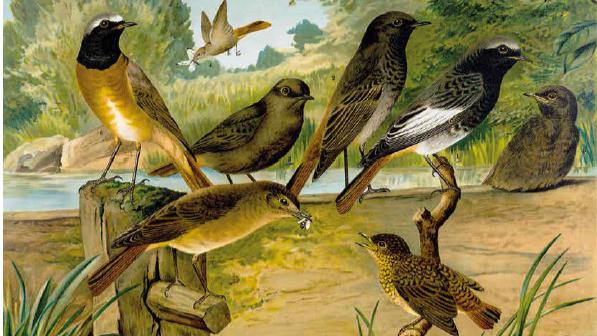 Naumann Die Vögel Mitteleuropas Gartenrötling