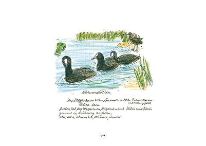 Vogel-album_Wenzel_blösshuhn.jpg