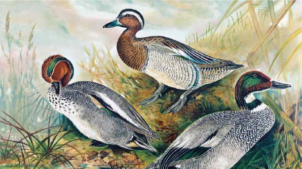 Naumann Die Vögel Mitteleuropas Knaakente