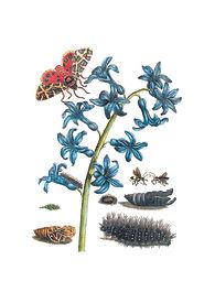 Merian Blauer orientalischer Hyazinth