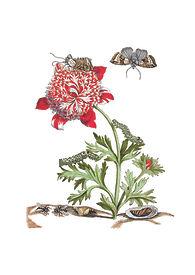 Merian Hochrote Anemone