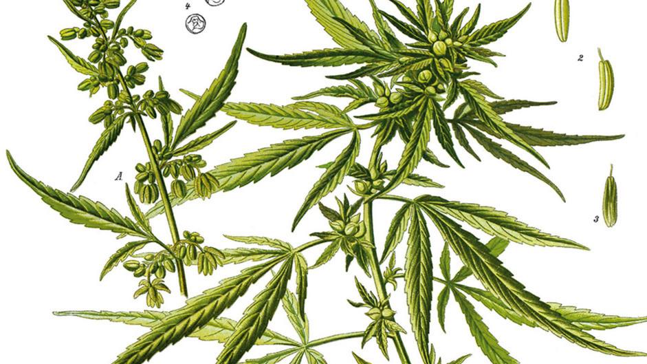 Köhlers Medizinal Atlas Hanf Cannabis Historische Zeichnung