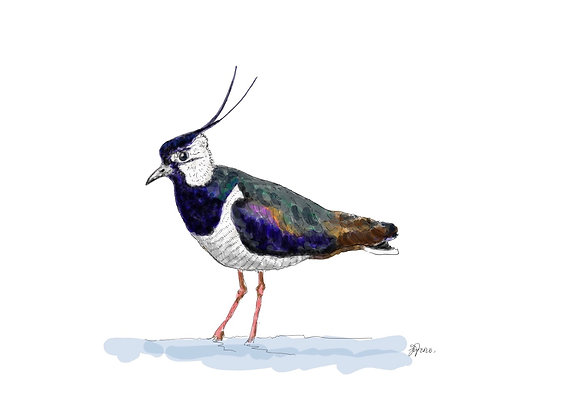 The Lapwing (Print)