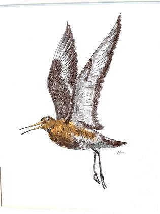 The Black Tailed Godwit (Print)
