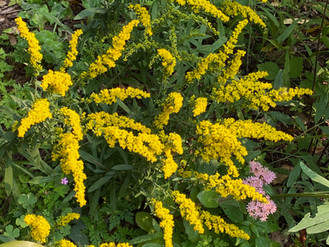 A gorgeous fall-blooming woodland native