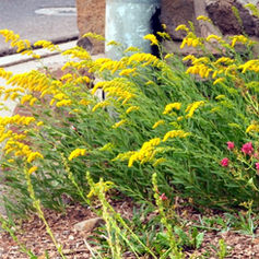 Our native garden plants will tolerate drought, salt and pollution. They soak up runoff and help conserve water.