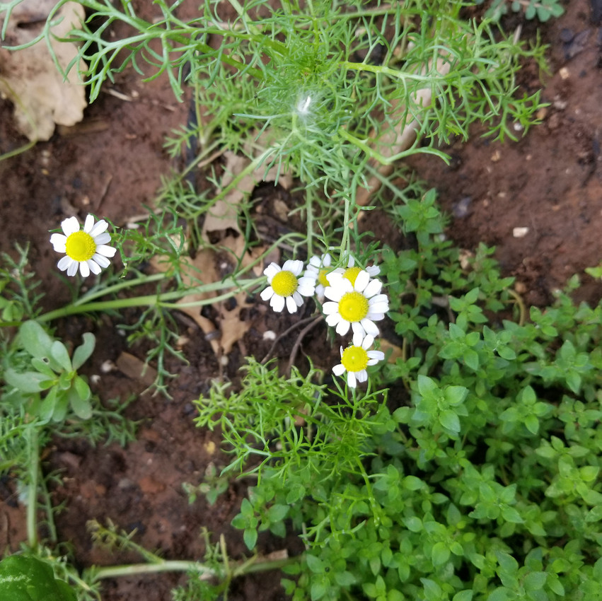 Chamomile and Thyme