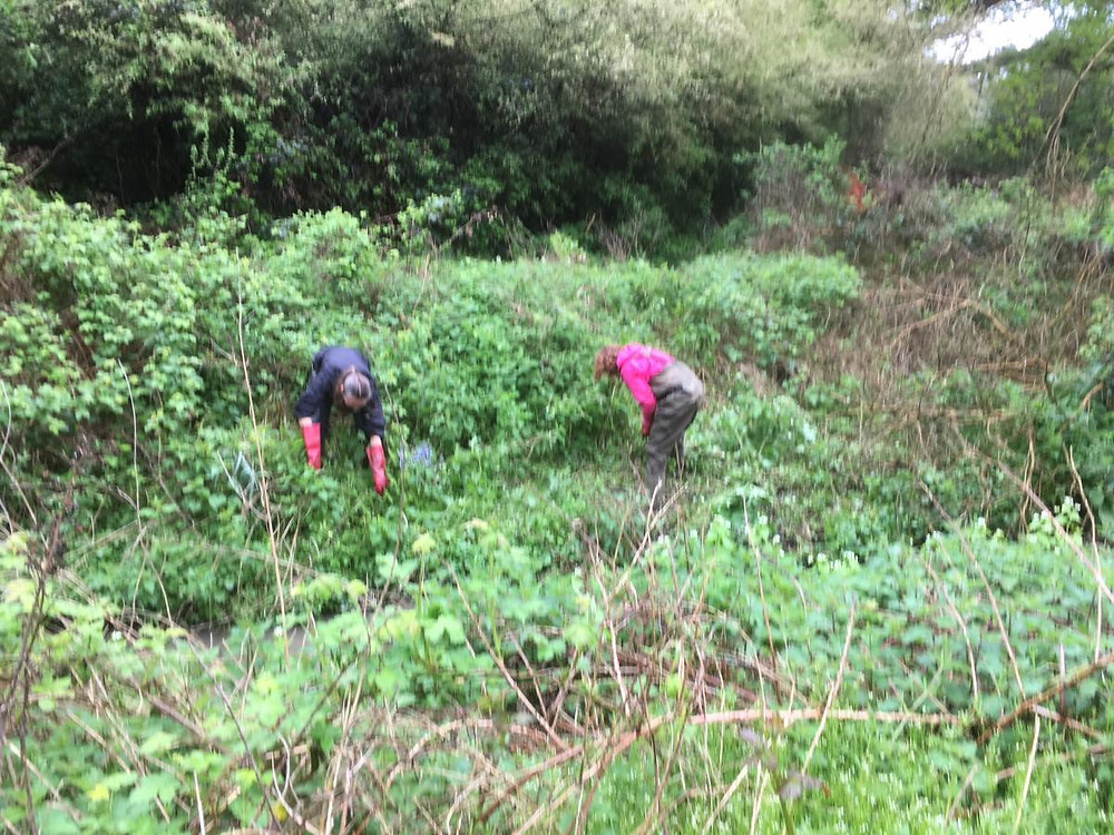 Two people searching amongst scrub for Himalayan balsam