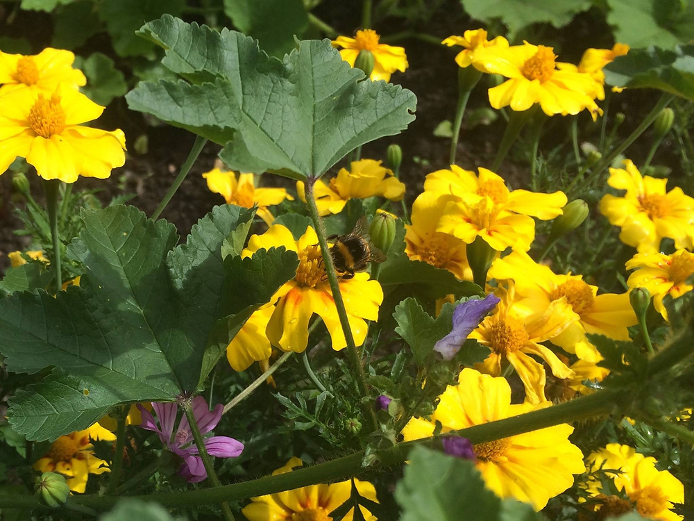 Bumblebee foraging for nectar in a community garden
