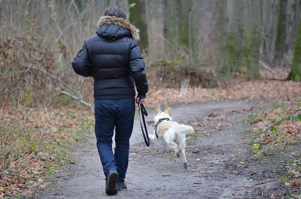 Man taking his dog for a walk in an urban woodland, dog off the lead.