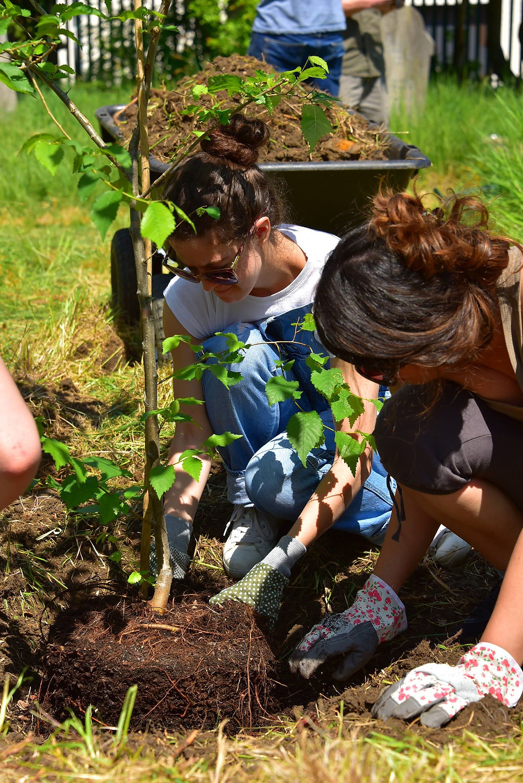 Volunteers planting a disease resistant elm tree