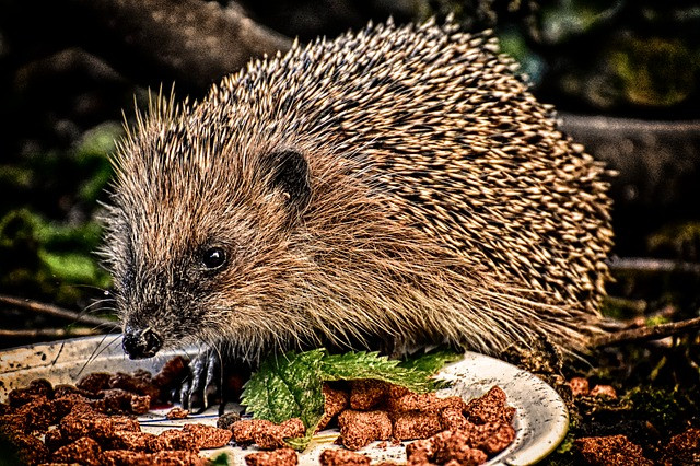 Hedgehog eating dry pet food from a bowl in the garden