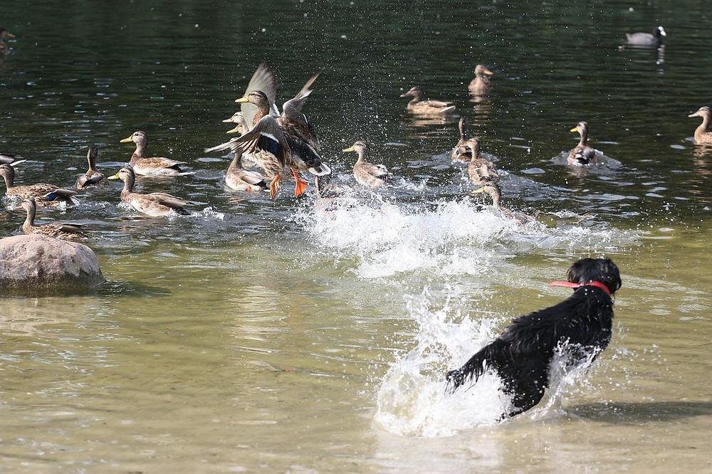 Medium sized black dog, running through muddy water chasing ducks