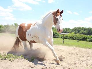 Horse Super Model-Chief