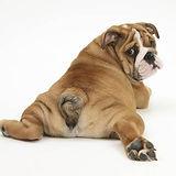 mark-taylor-bulldog-puppy-11-weeks-rear-