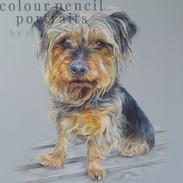 dexter-yorkshire-terrier-portrait-colour