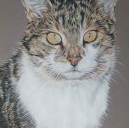 mitzi-tabby-cat-colour-pencil-portrait-c