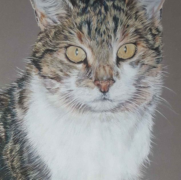 mitzi-tabby-cat-colour-pencil-portrait-c