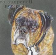 george-boxer-dog-portrait-colour-pencil-