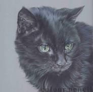 Black-Cat-Colour-Pencil-Portrait-Claire-