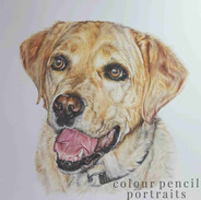macduff-yellow-labrador-colour-pencil-po