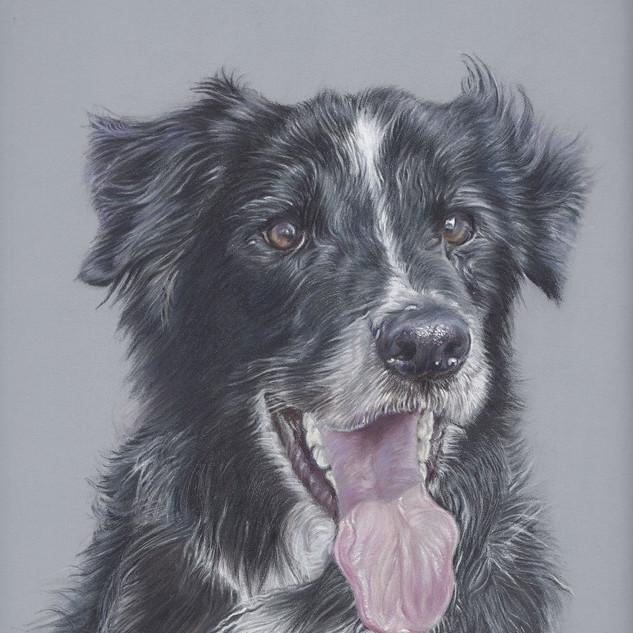 jim-border-collie-colour-pencil-portrait