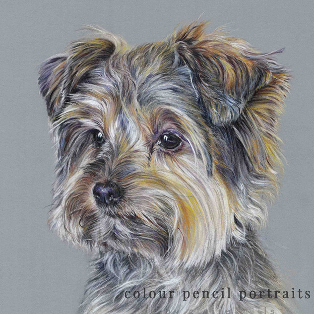 buster-yorkshire-terrier-claire-mills-co