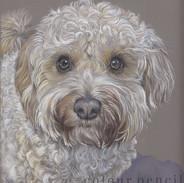 Olly-Cavapoo-Portrait-Colour-Pencil-Clai