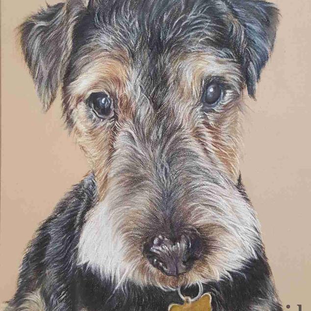 Lakeland-Terrier-colour-pencil-portrait-