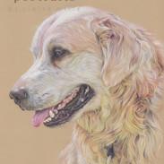 max-golden-retriever-portrait-colour-pen