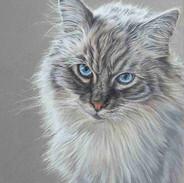 louis-rag-doll-cat-claire-mills-colour-p